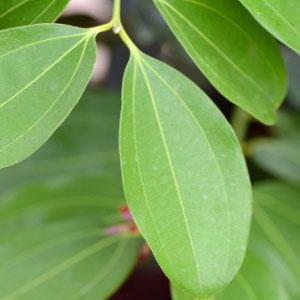 cinnamon_leaf_essential_oil_manufacturer_distributor_supplier_exporter_wholesalers_in_kannauj_kanpur_delhi_mumbai_india