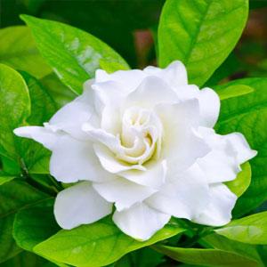 gardenia_attar_manufacturer_distributor_supplier_exporter_wholesalers_in_kannauj_kanpur_delhi_mumbai_india