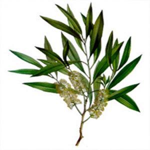 tea_tree_essential_oil_manufacturer_distributor_supplier_exporter_wholesalers_in_kannauj_kanpur_delhi_mumbai_india